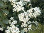 รูปฮ่วยฮวย(Sophora japonica L flower.))