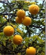 รูปจี่เซ็ก(Poncirus trifolia Raf.)