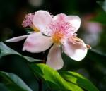 รูปดอกคำไทย