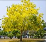 รูปต้นคูน