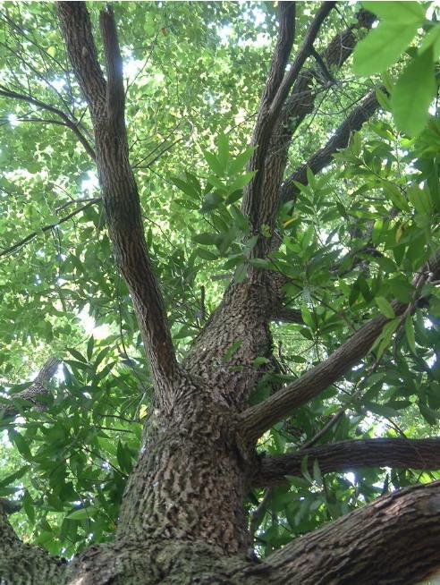 รูปต้นเทพธาโร